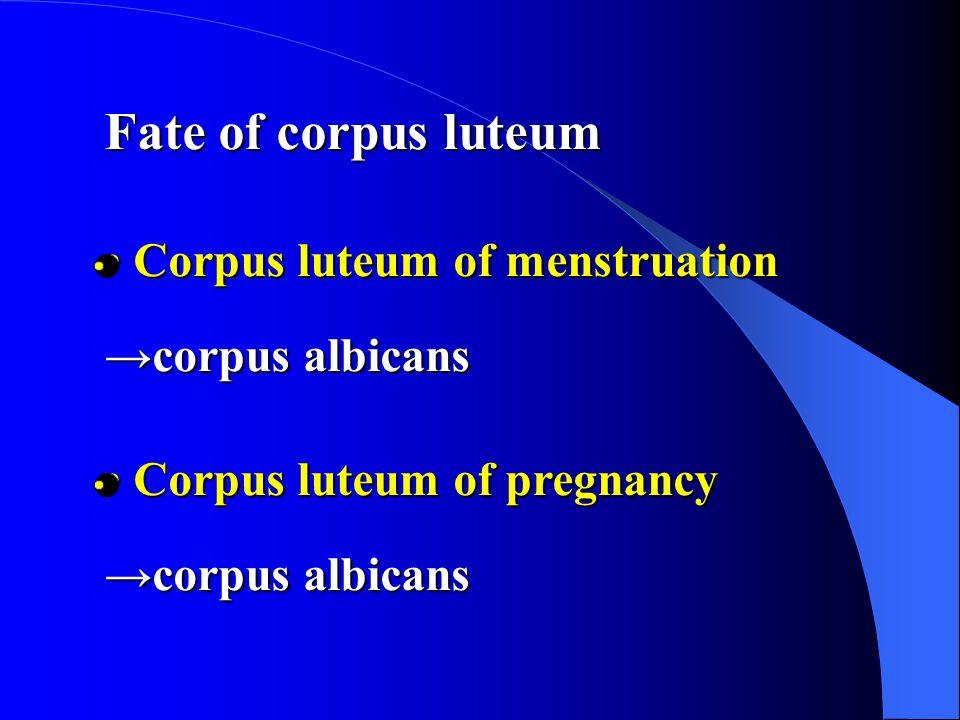 Fate of corpus luteum Corpus luteum of menstruation →corpus albicans Corpus luteum of menstruation →corpus albicans Corpus luteum of pregnancy →corpus albicans Corpus luteum of pregnancy →corpus albicans