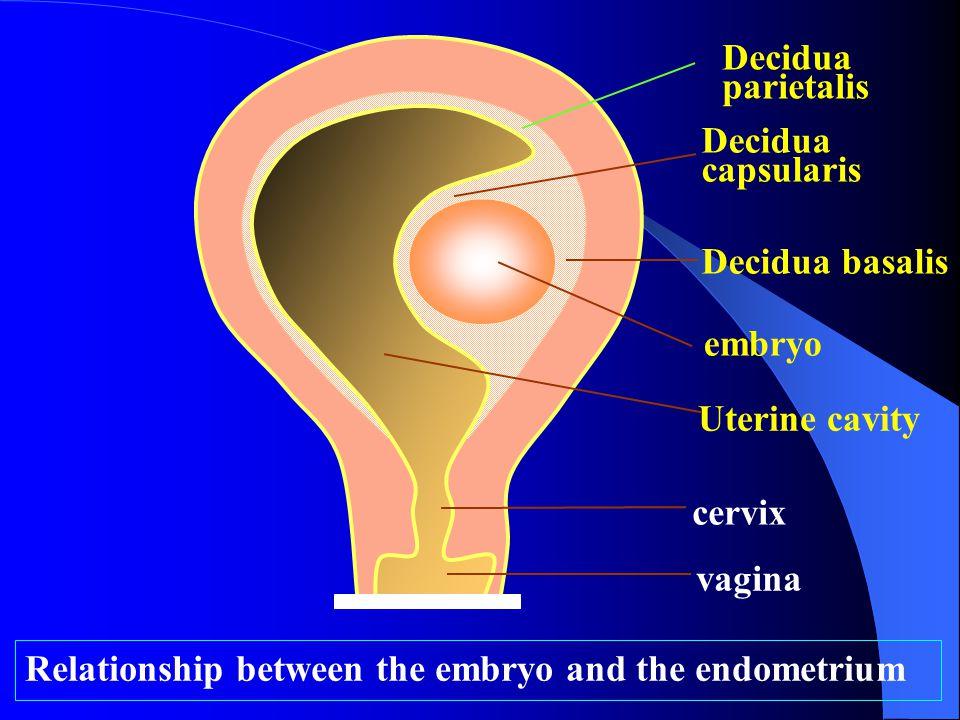Relationship between the embryo and the endometrium Decidua capsularis embryo vagina cervix Uterine cavity Decidua parietalis Decidua basalis