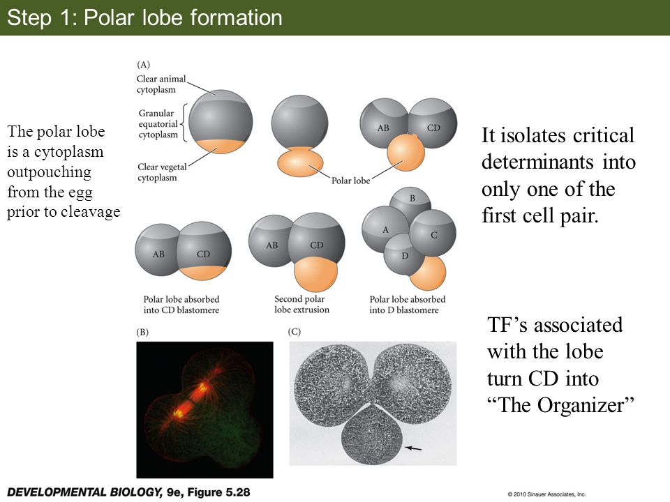 Step 1: Polar lobe formation The polar lobe is a cytoplasm outpouching from the egg prior to cleavage It isolates critical determinants into only one of the first cell pair.