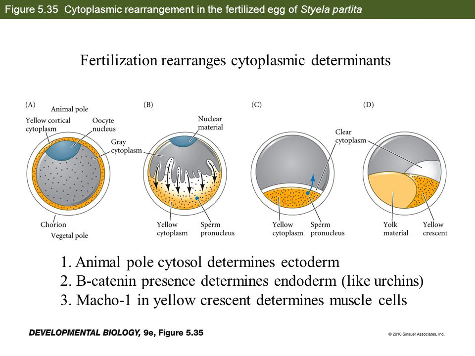Figure 5.35 Cytoplasmic rearrangement in the fertilized egg of Styela partita Fertilization rearranges cytoplasmic determinants 1. Animal pole cytosol