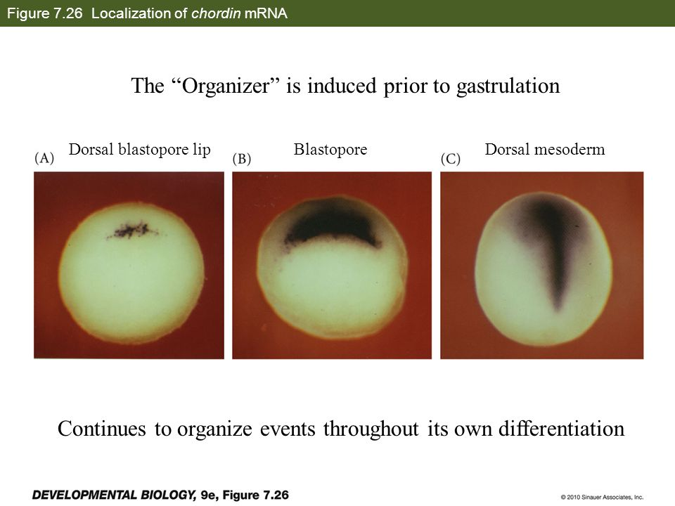 Figure 7.26 Localization of chordin mRNA Dorsal blastopore lipBlastoporeDorsal mesoderm The Organizer is induced prior to gastrulation Continues to organize events throughout its own differentiation