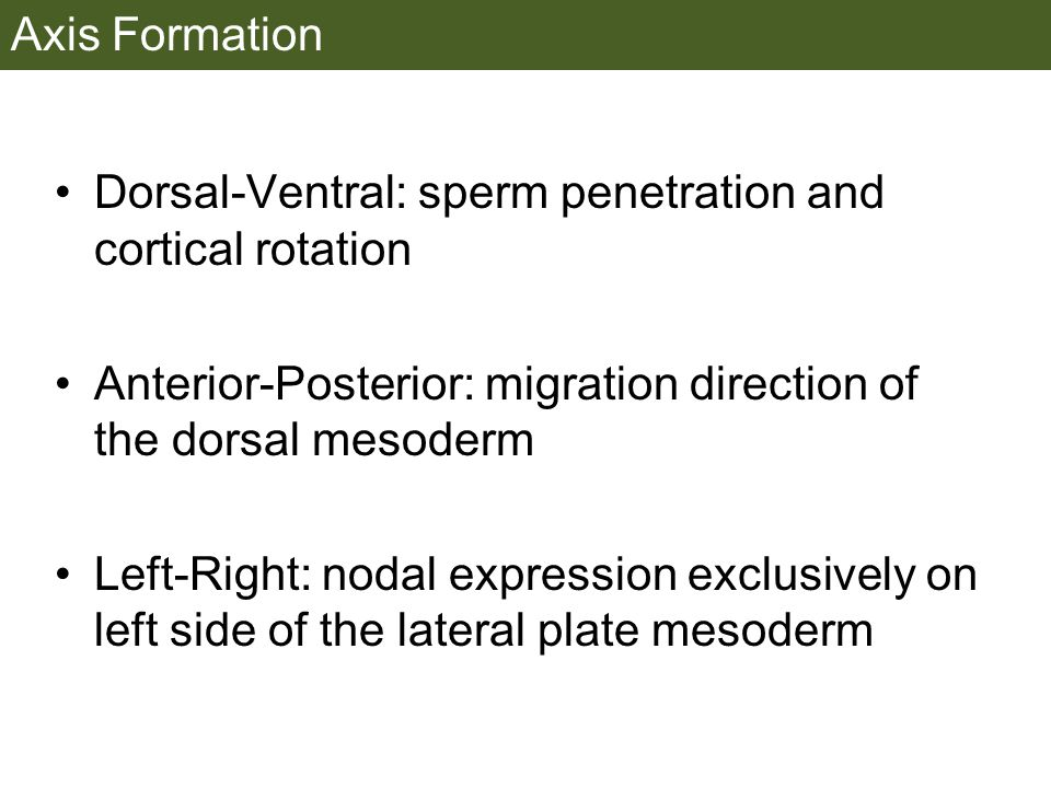 Axis Formation Dorsal-Ventral: sperm penetration and cortical rotation Anterior-Posterior: migration direction of the dorsal mesoderm Left-Right: nodal expression exclusively on left side of the lateral plate mesoderm