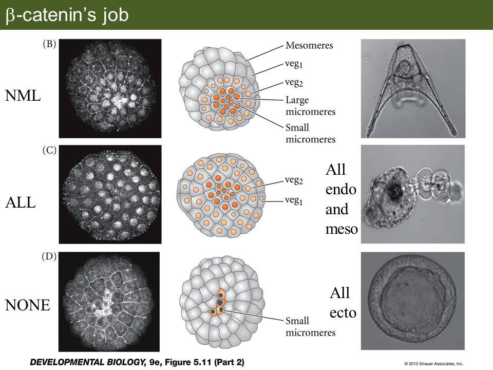  -catenin's job NML ALL All endo and meso NONE All ecto