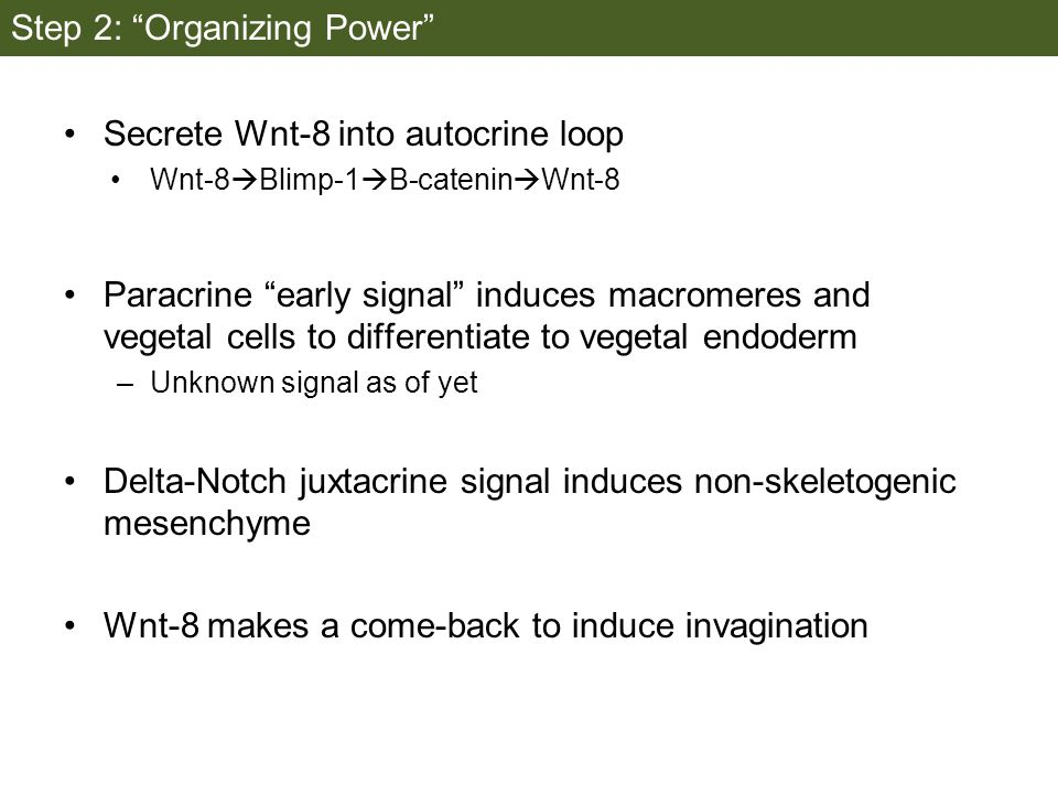 Step 2: Organizing Power Secrete Wnt-8 into autocrine loop Wnt-8  Blimp-1  B-catenin  Wnt-8 Paracrine early signal induces macromeres and vegetal cells to differentiate to vegetal endoderm –Unknown signal as of yet Delta-Notch juxtacrine signal induces non-skeletogenic mesenchyme Wnt-8 makes a come-back to induce invagination