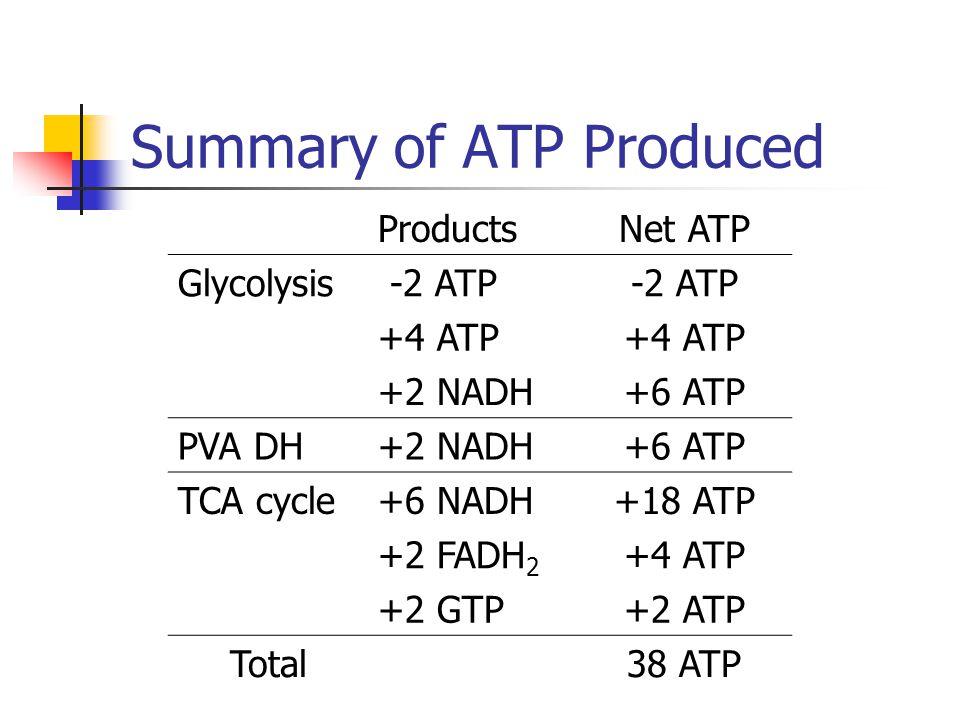 Summary of ATP Produced ProductsNet ATP Glycolysis -2 ATP +4 ATP +2 NADH+6 ATP PVA DH+2 NADH+6 ATP TCA cycle+6 NADH+18 ATP +2 FADH 2 +4 ATP +2 GTP+2 A