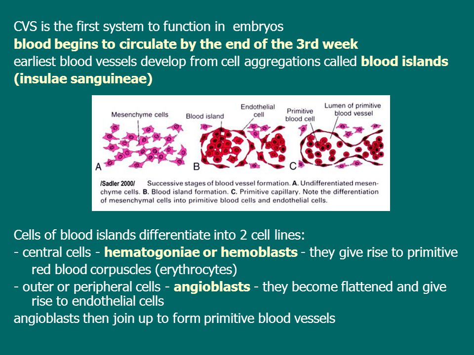 CVS is the first system to function in embryos blood begins to circulate by the end of the 3rd week earliest blood vessels develop from cell aggregations called blood islands (insulae sanguineae) Cells of blood islands differentiate into 2 cell lines: - central cells - hematogoniae or hemoblasts - they give rise to primitive red blood corpuscles (erythrocytes) - outer or peripheral cells - angioblasts - they become flattened and give rise to endothelial cells angioblasts then join up to form primitive blood vessels