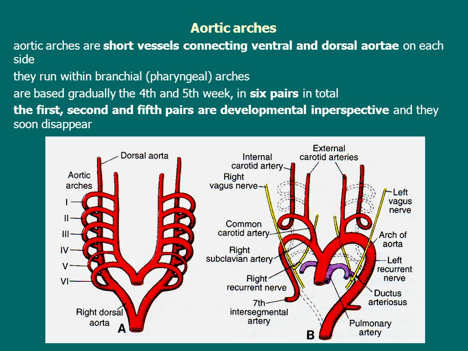 Aortic arches aortic arches are short vessels connecting ventral and dorsal aortae on each side they run within branchial (pharyngeal) arches are based gradually the 4th and 5th week, in six pairs in total the first, second and fifth pairs are developmental inperspective and they soon disappear