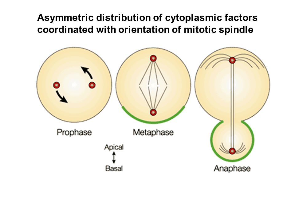 Asymmetric distribution of cytoplasmic factors coordinated with orientation of mitotic spindle