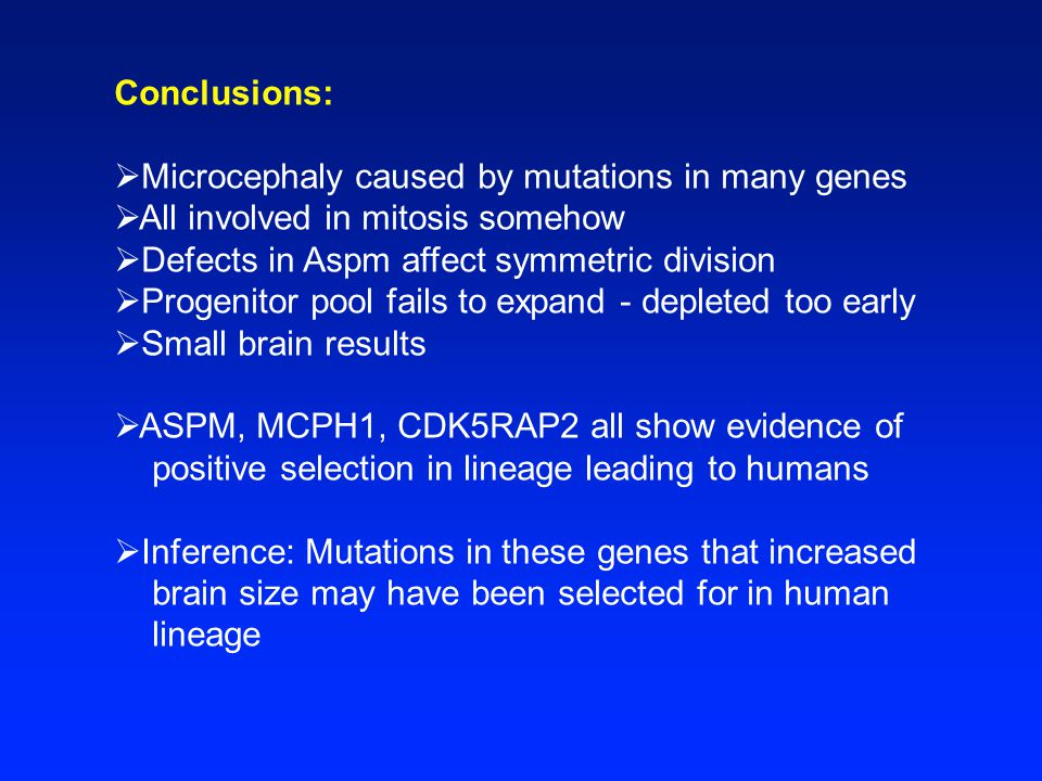 Conclusions:  Microcephaly caused by mutations in many genes  All involved in mitosis somehow  Defects in Aspm affect symmetric division  Progenitor pool fails to expand - depleted too early  Small brain results  ASPM, MCPH1, CDK5RAP2 all show evidence of positive selection in lineage leading to humans  Inference: Mutations in these genes that increased brain size may have been selected for in human lineage