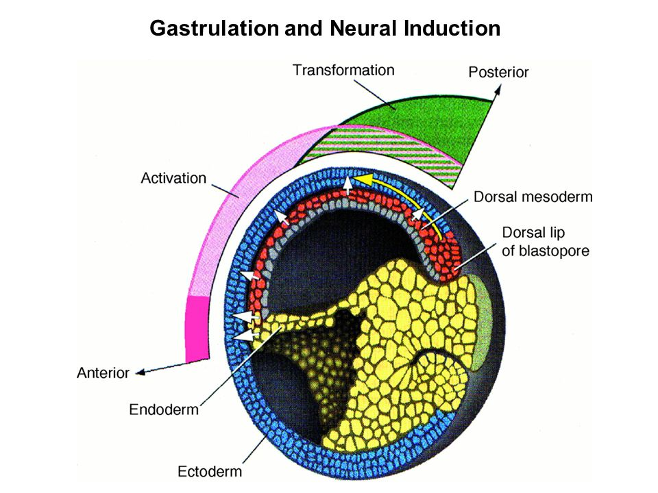 Gastrulation and Neural Induction