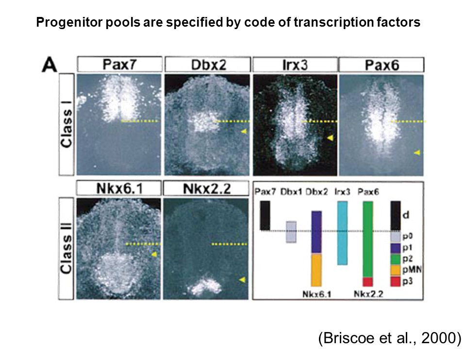 Progenitor pools are specified by code of transcription factors (Briscoe et al., 2000)