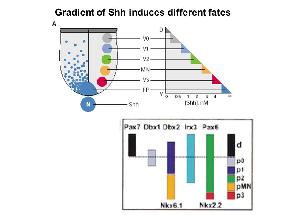 Gradient of Shh induces different fates