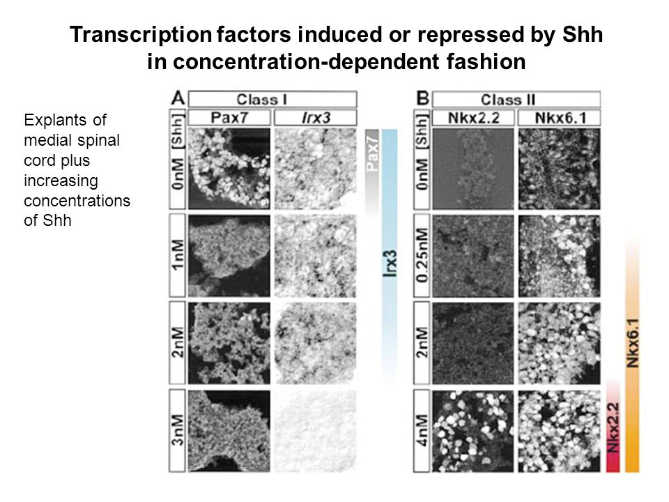 Transcription factors induced or repressed by Shh in concentration-dependent fashion Explants of medial spinal cord plus increasing concentrations of Shh