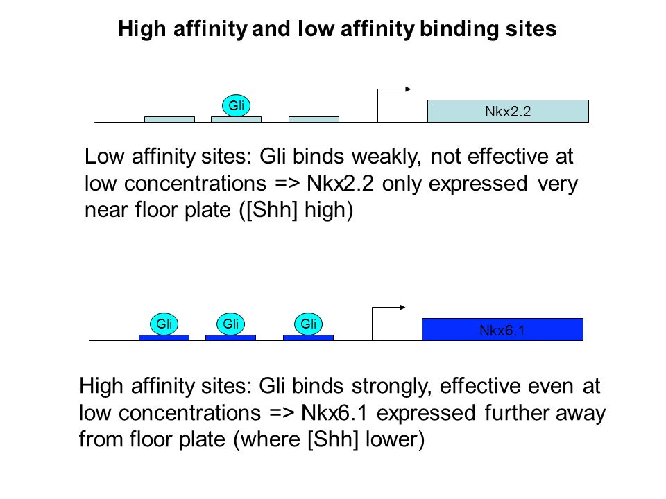 High affinity and low affinity binding sites Nkx2.2 Nkx6.1 Gli Low affinity sites: Gli binds weakly, not effective at low concentrations => Nkx2.2 only expressed very near floor plate ([Shh] high) High affinity sites: Gli binds strongly, effective even at low concentrations => Nkx6.1 expressed further away from floor plate (where [Shh] lower)