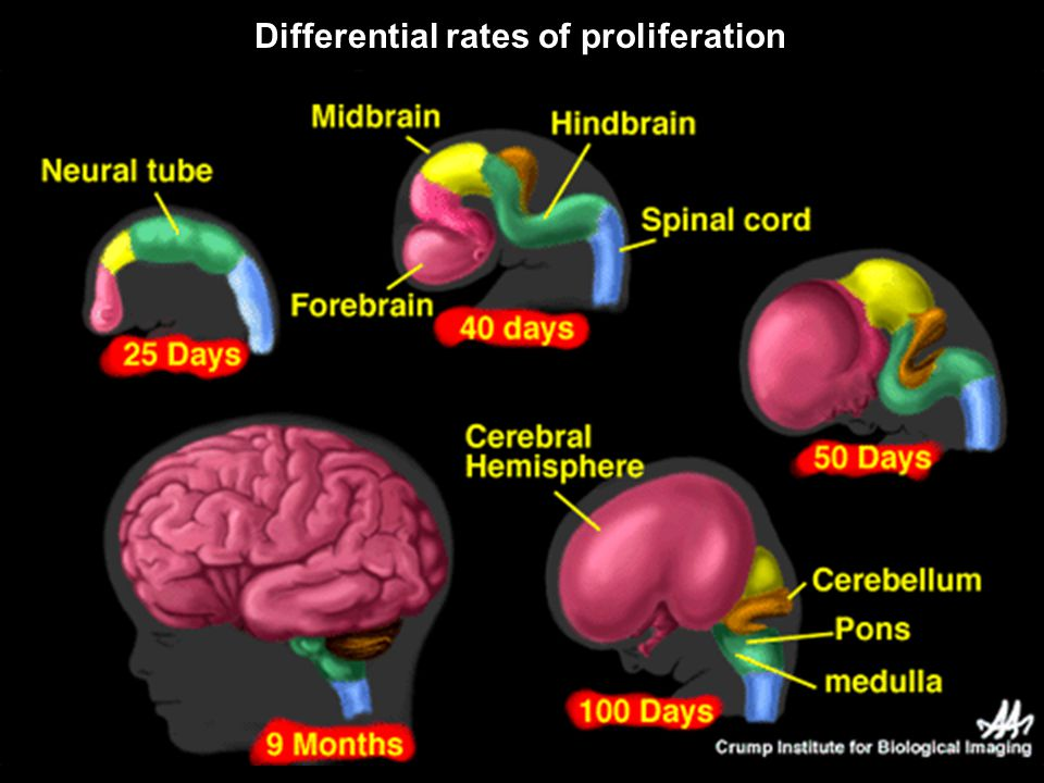 Differential rates of proliferation