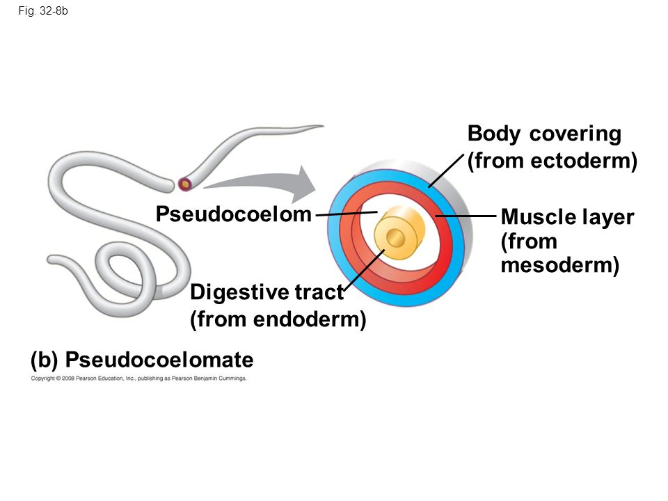 Fig. 32-8b Pseudocoelom Body covering (from ectoderm) Muscle layer (from mesoderm) Digestive tract (from endoderm) (b) Pseudocoelomate