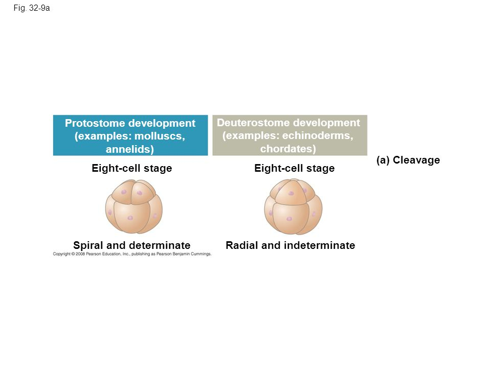 Fig. 32-9a Eight-cell stage (a) Cleavage Spiral and determinateRadial and indeterminate Protostome development (examples: molluscs, annelids) Deuteros