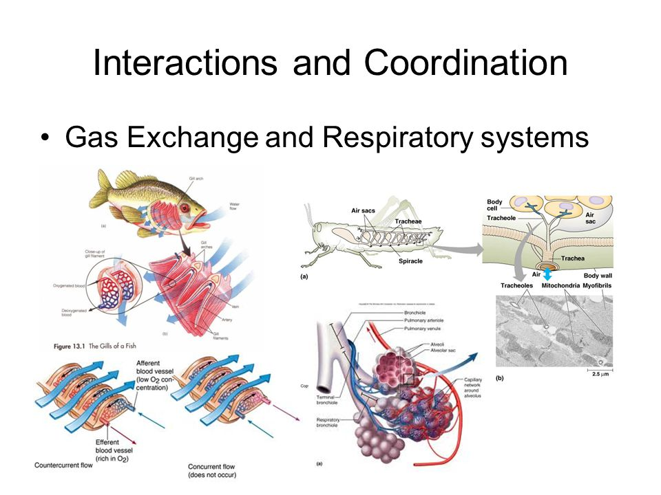 Interactions and Coordination Gas Exchange and Respiratory systems