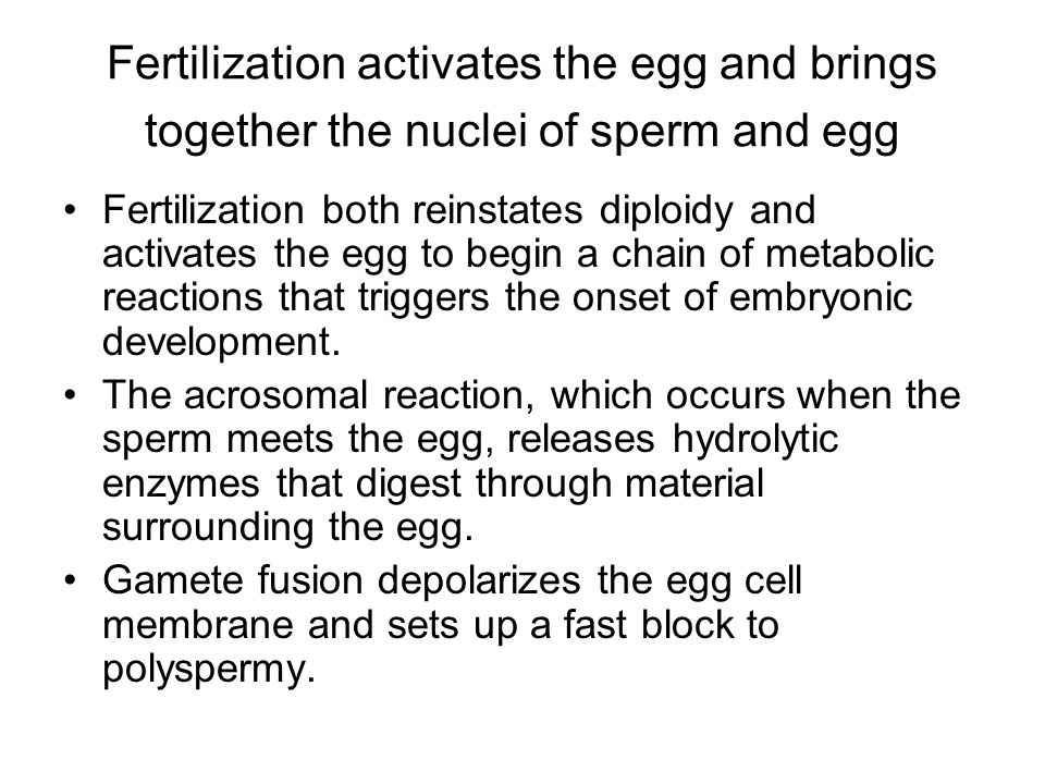 Fertilization activates the egg and brings together the nuclei of sperm and egg Fertilization both reinstates diploidy and activates the egg to begin