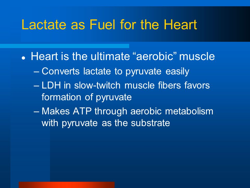 "Lactate as Fuel for the Heart Heart is the ultimate ""aerobic"" muscle –Converts lactate to pyruvate easily –LDH in slow-twitch muscle fibers favors for"
