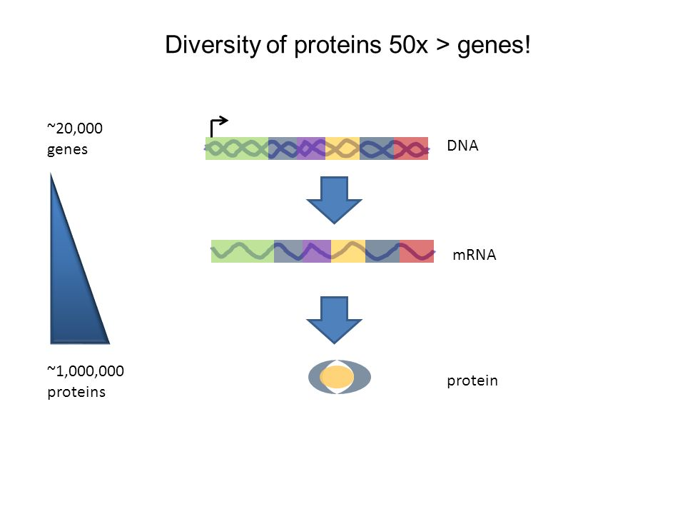 DNA mRNA protein ~20,000 genes ~1,000,000 proteins Diversity of proteins 50x > genes!
