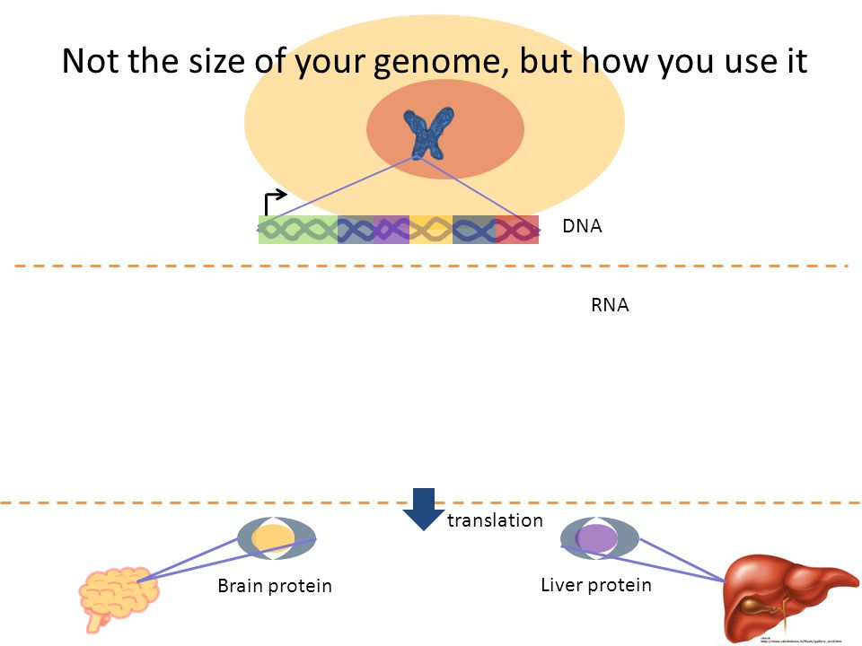 DNA translation Brain protein Liver protein RNA Not the size of your genome, but how you use it