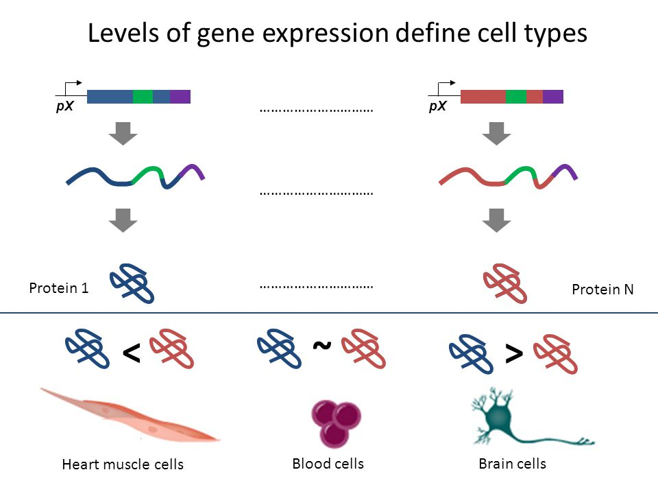 Protein N ………………………… Protein 1 ………………………… Heart muscle cells Brain cellsBlood cells pX Levels of gene expression define cell types < > ~