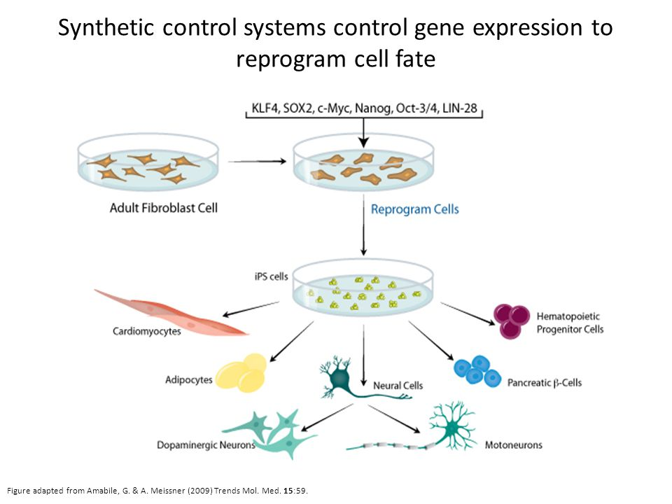 Synthetic control systems control gene expression to reprogram cell fate Figure adapted from Amabile, G.