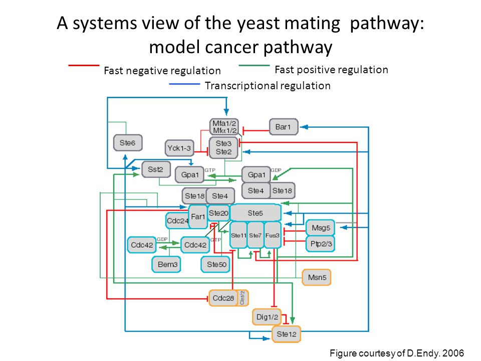 Fast negative regulation Fast positive regulation Transcriptional regulation A systems view of the yeast mating pathway: model cancer pathway Figure courtesy of D.Endy.