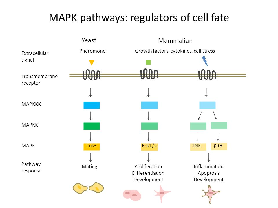 MAPK pathways: regulators of cell fate Transmembrane receptor MAPKKK MAPKK MAPK Extracellular signal Pathway response Mating Proliferation Differentiation Development Inflammation Apoptosis Development Yeast Mammalian PheromoneGrowth factors, cytokines, cell stress Fus3Erk1/2JNK p38