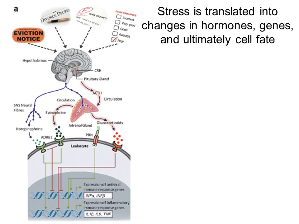 http://www.sciencedirect.com/science/article/pii/S0889159112004941 Stress is translated into changes in hormones, genes, and ultimately cell fate