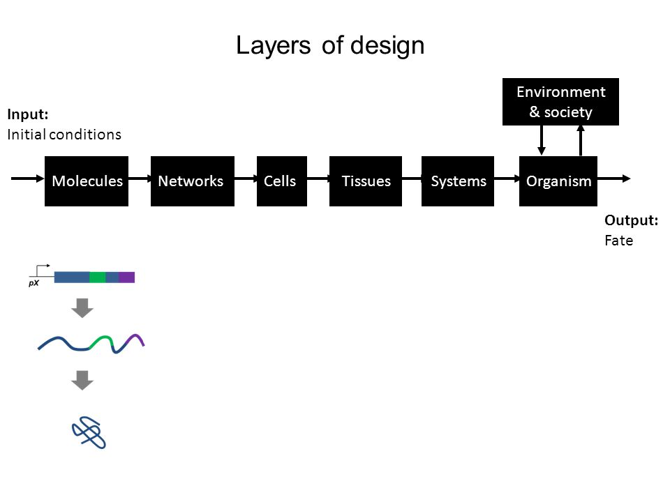 MoleculesNetworksCellsTissuesSystemsOrganism Environment & society Input: Initial conditions Output: Fate Layers of design