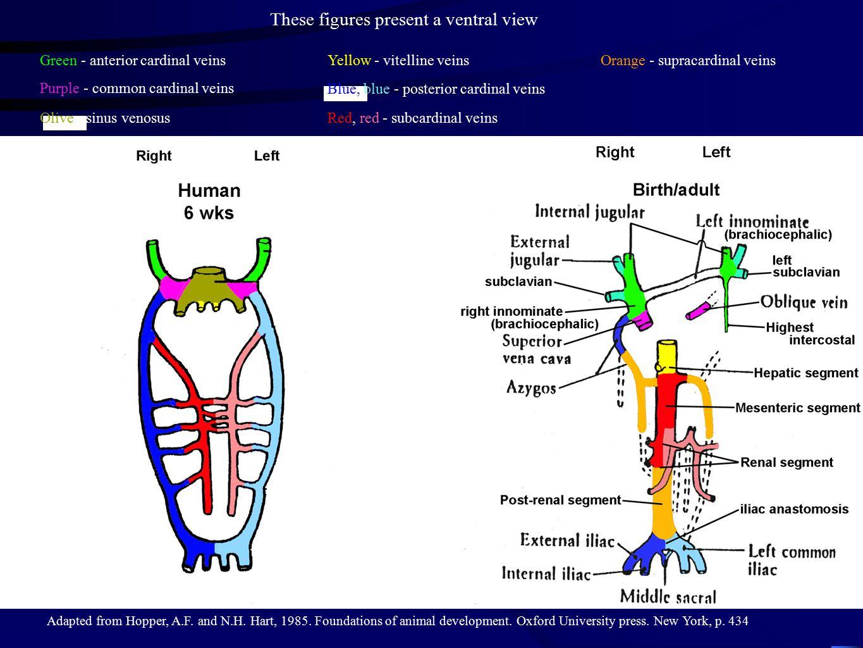 Green - anterior cardinal veins Purple - common cardinal veins Olive - sinus venosus Yellow - vitelline veins Blue, blue - posterior cardinal veins Re