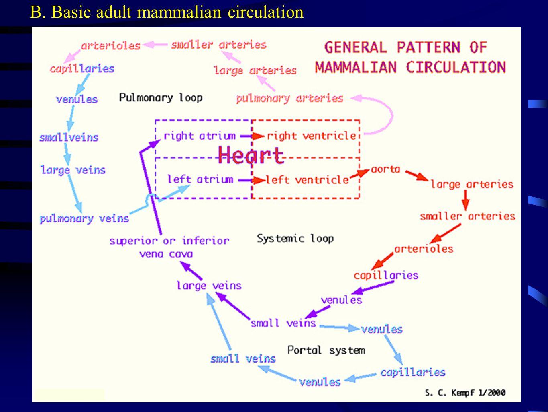 B. Basic adult mammalian circulation