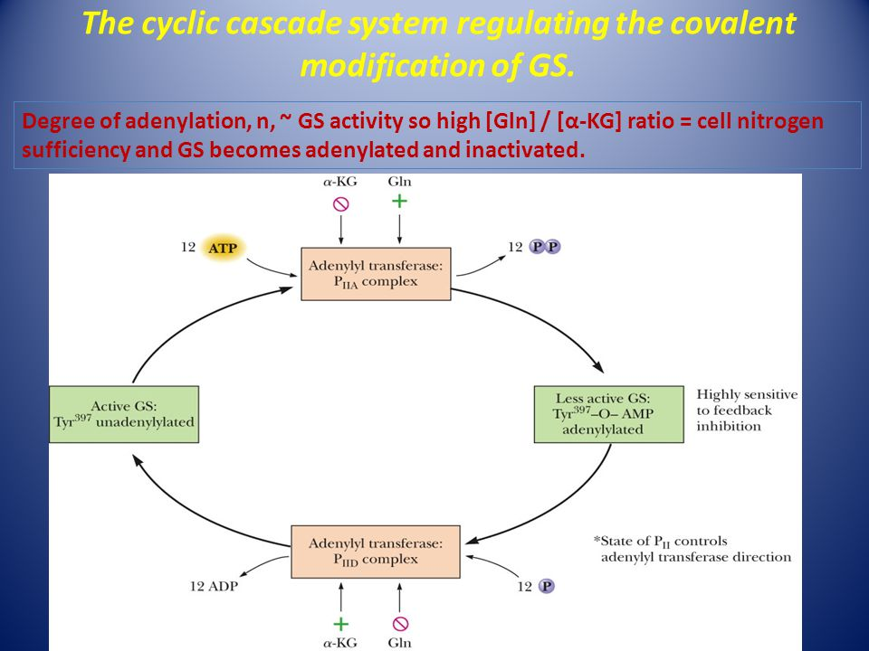 The cyclic cascade system regulating the covalent modification of GS.