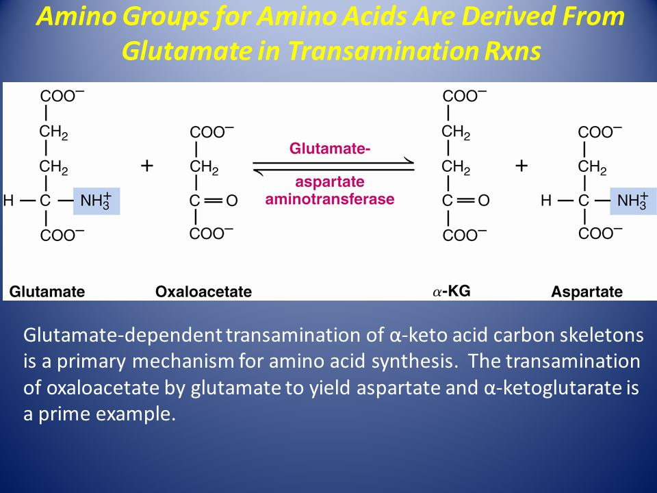 Glutamate-dependent transamination of α-keto acid carbon skeletons is a primary mechanism for amino acid synthesis.