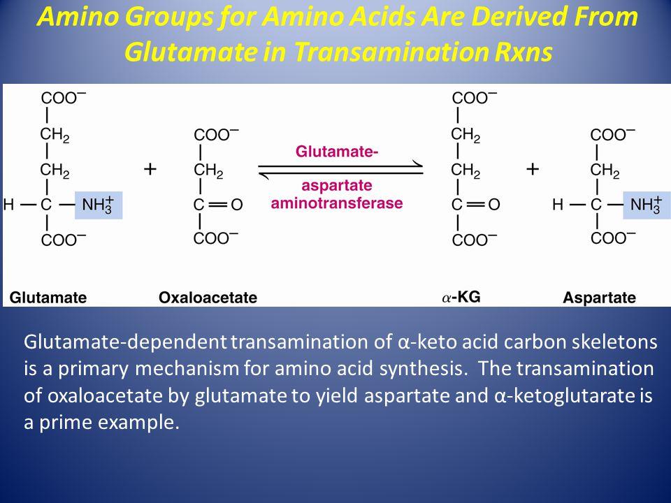 Glutamate-dependent transamination of α-keto acid carbon skeletons is a primary mechanism for amino acid synthesis. The transamination of oxaloacetate