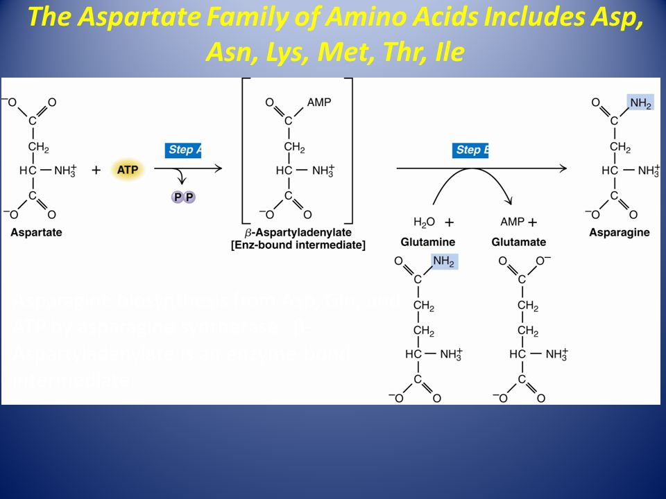 The Aspartate Family of Amino Acids Includes Asp, Asn, Lys, Met, Thr, Ile Asparagine biosynthesis from Asp, Gln, and ATP by asparagine synthetase.