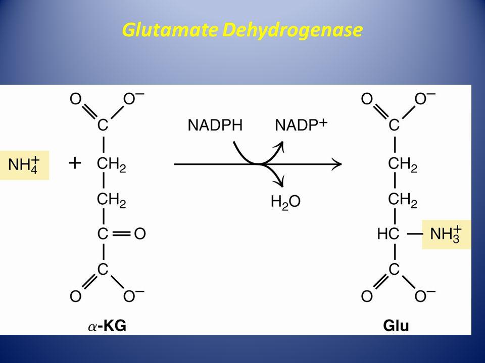 Glutamate Dehydrogenase