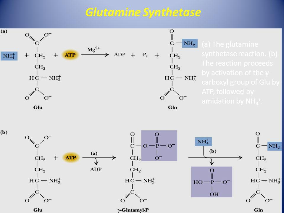 (a) The glutamine synthetase reaction.