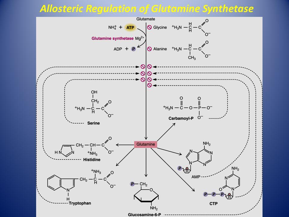 Allosteric Regulation of Glutamine Synthetase