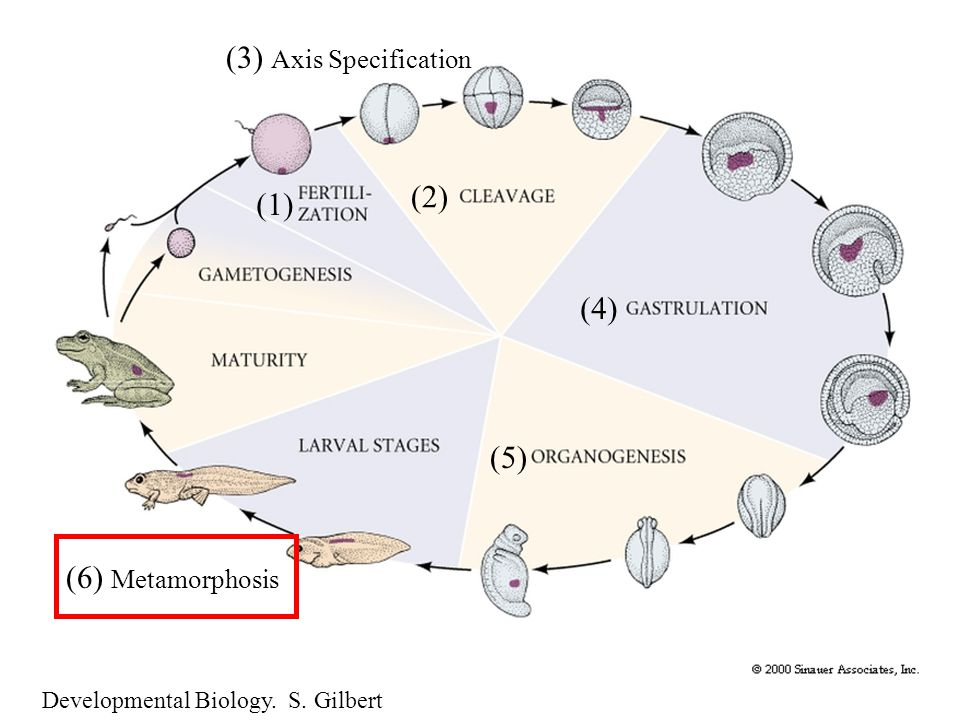 Developmental Biology. S. Gilbert (1) (2) (3) Axis Specification (4) (5) (6) Metamorphosis