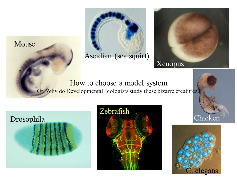 Mouse Drosophila Zebrafish Ascidian (sea squirt) Xenopus Chicken C.