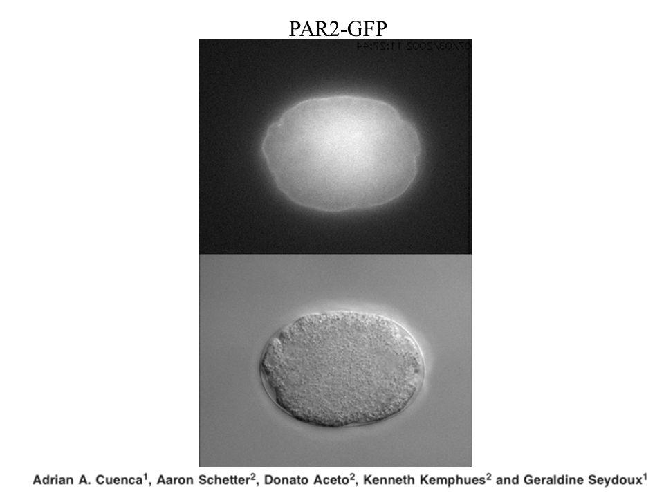 PAR2-GFP