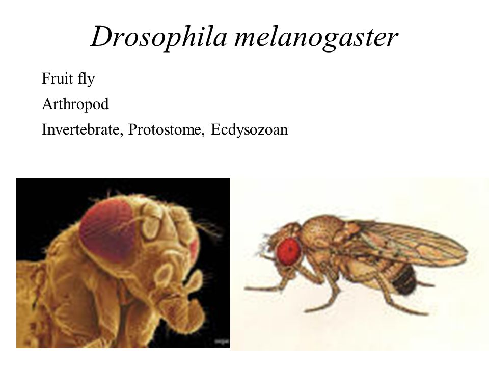 Drosophila melanogaster Fruit fly Arthropod Invertebrate, Protostome, Ecdysozoan