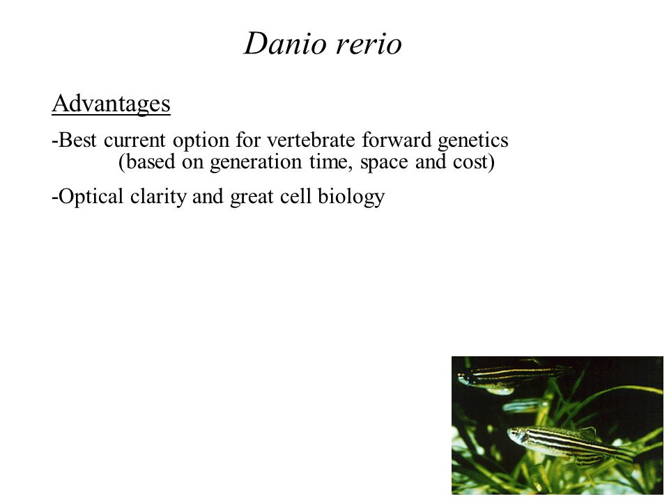 Danio rerio Advantages -Best current option for vertebrate forward genetics (based on generation time, space and cost) -Optical clarity and great cell biology
