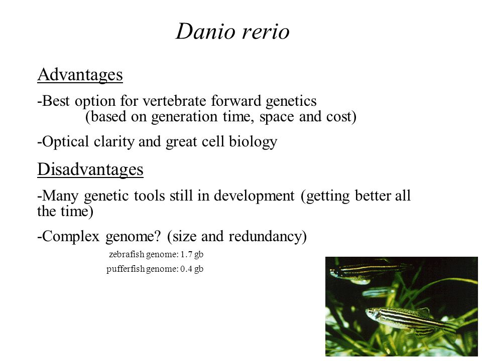 Danio rerio Advantages -Best option for vertebrate forward genetics (based on generation time, space and cost) -Optical clarity and great cell biology Disadvantages -Many genetic tools still in development (getting better all the time) -Complex genome.