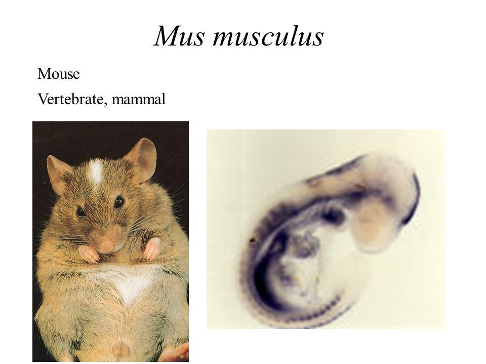 Mus musculus Mouse Vertebrate, mammal