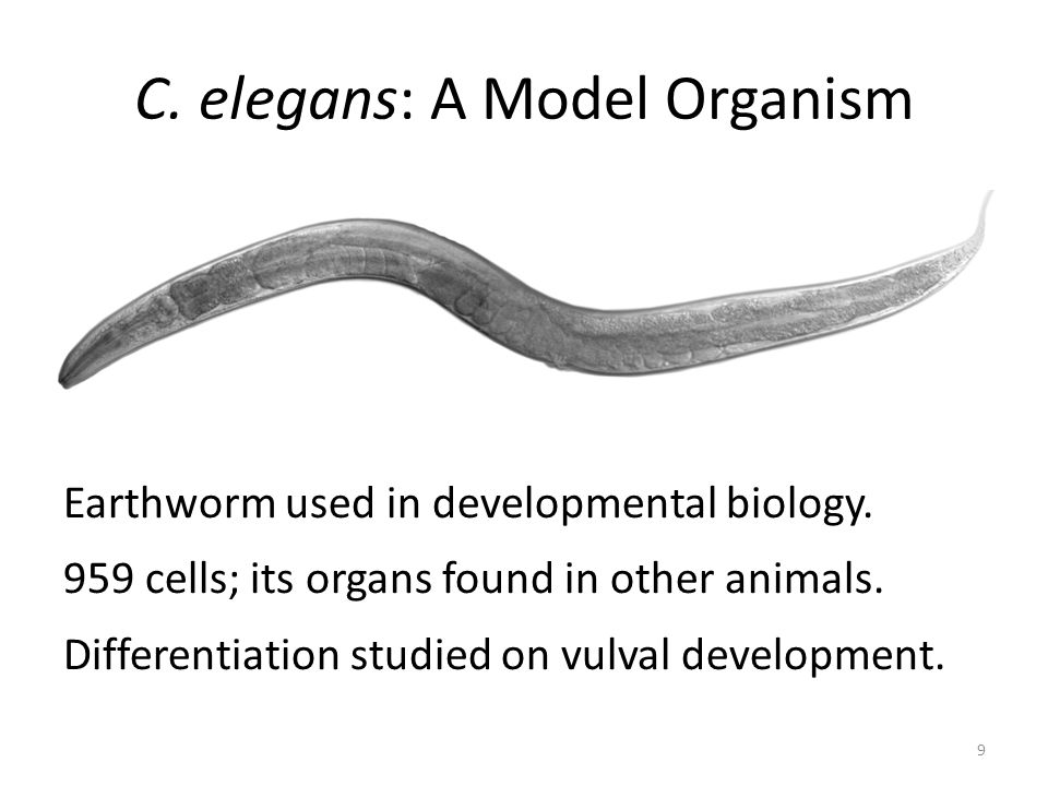 Differentiation and then development into organ parts 10 Initial division of embryo Identical precursor cells collaborate to decide their fate