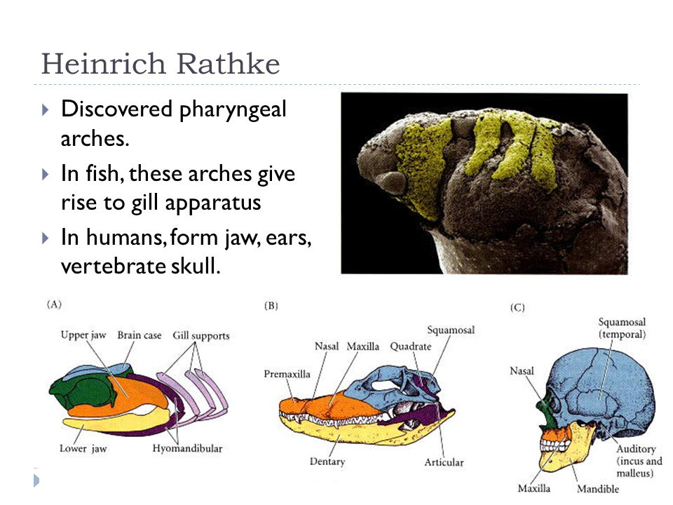 Heinrich Rathke  Discovered pharyngeal arches.  In fish, these arches give rise to gill apparatus  In humans, form jaw, ears, vertebrate skull.